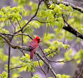 Cardinal Male Green 2Leaves T2i_3400