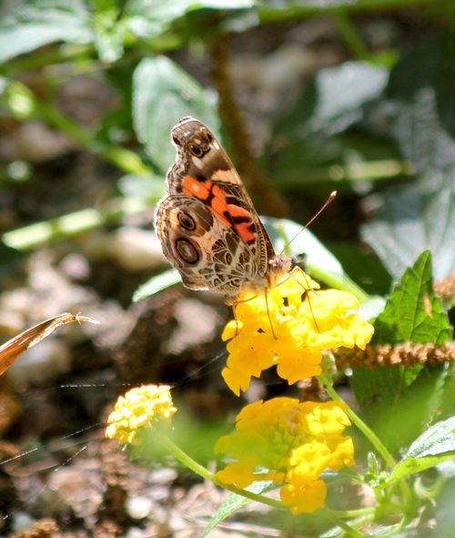 Butterfly Lantana Sunday2 May 20_9722