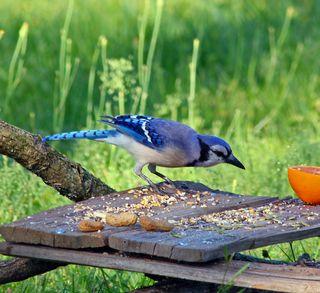 Blue Jay2 Cur T2i_3272