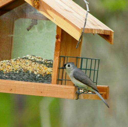 Tufted Titmouse _3039