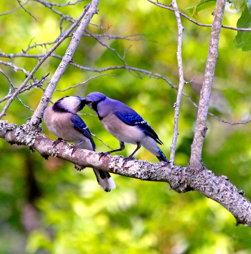 Blue Jay Feeding Jay_4087