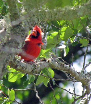 Cardinal Framed big limbs Sunday SX30_3902