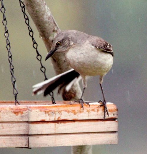 MockingEM2Bird Rain_6592