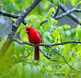 Cardinal Head tilted left3T2i_3901