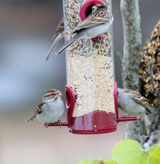 SparrowEM3WithSeedRedT2i_9949