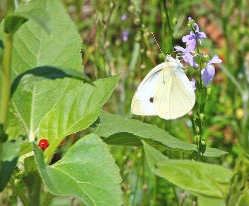 ButterflyEM7LadyBug_8199