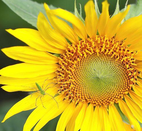 SunflowerEM2GreenGuySide7D_0501