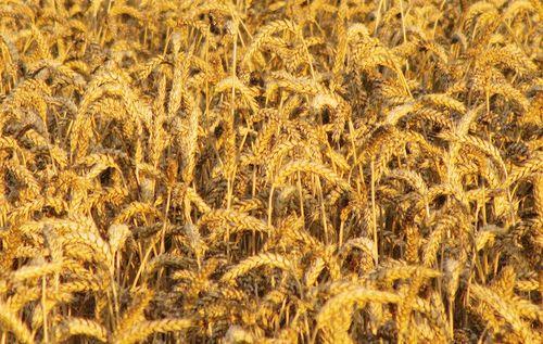 WheatEM2SX230_9808