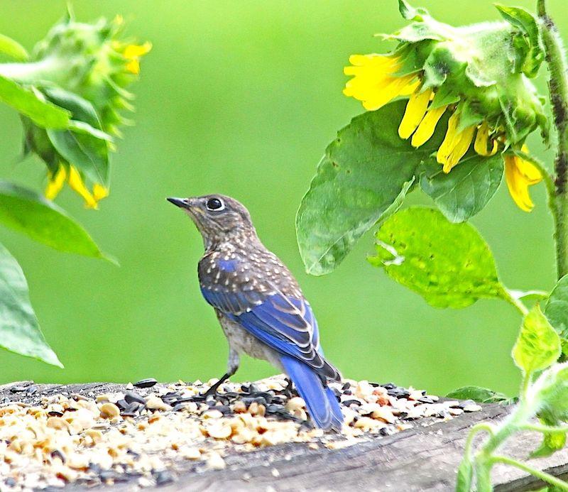 BluebirdEEM_1094