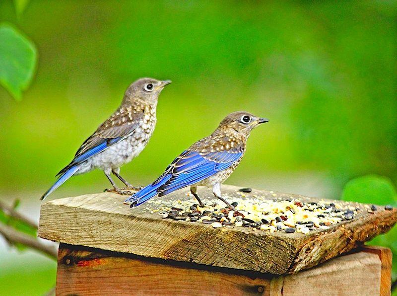 Bluebird4BabysPairFeeder_0579