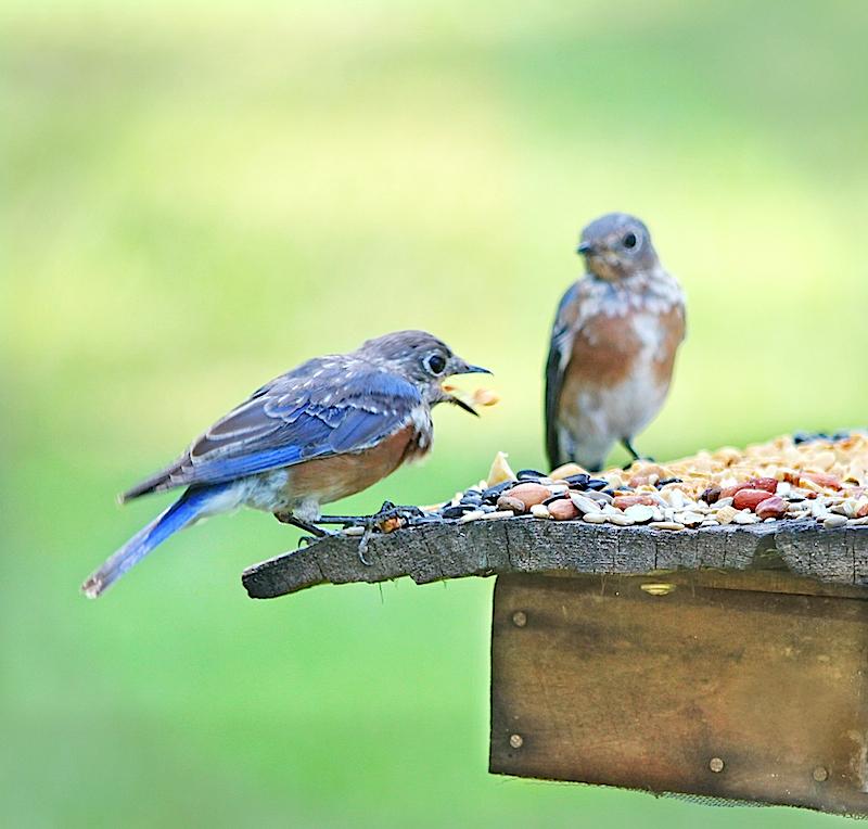 BluebirdEM3PairPeanutT2i_8107