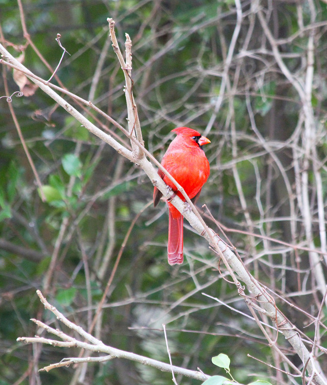 Cardinal 7Close T2i_9887-XL