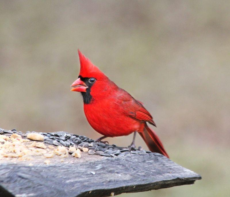 CardinalEM2Nov26T2i_8728
