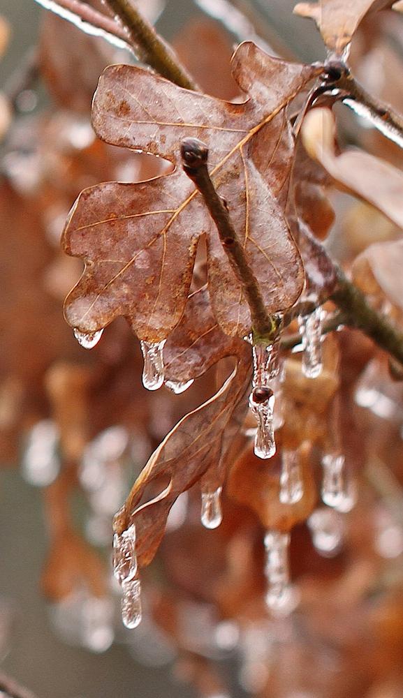 IcecycCropEM2BrownLeaves7DJan_1722