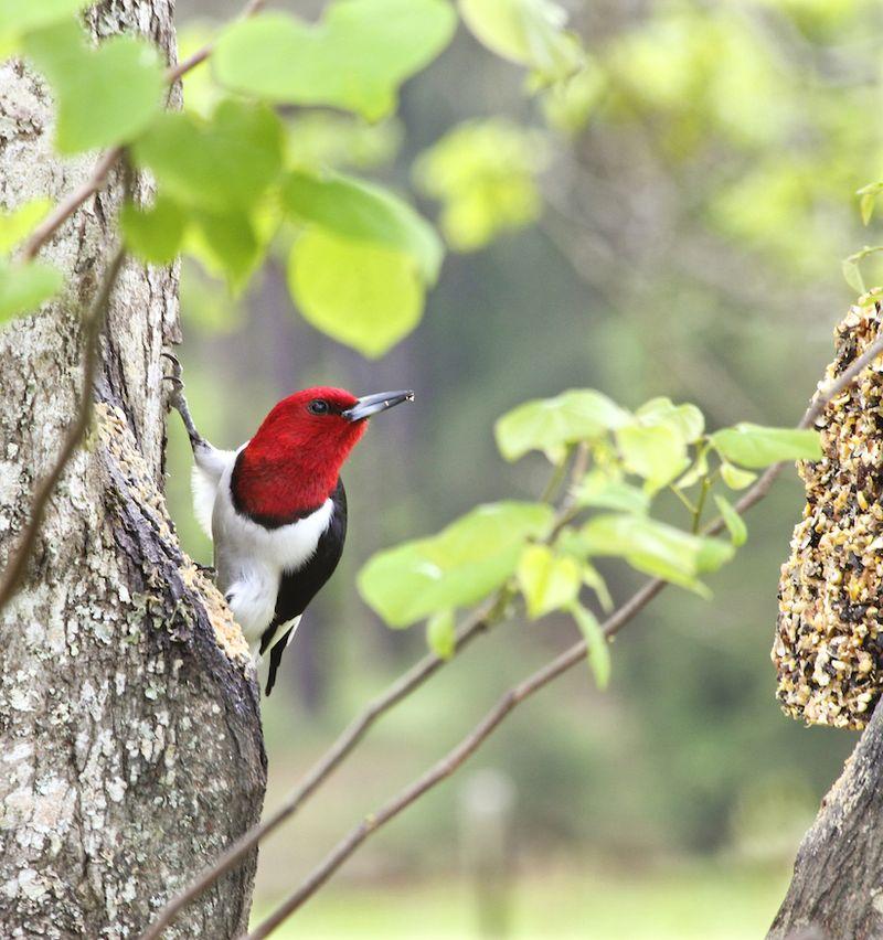 Red-HeadedEM4WoodpeckerTree_7852