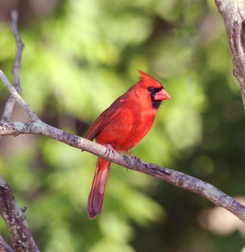 CardinalEM2May17T2i_8981