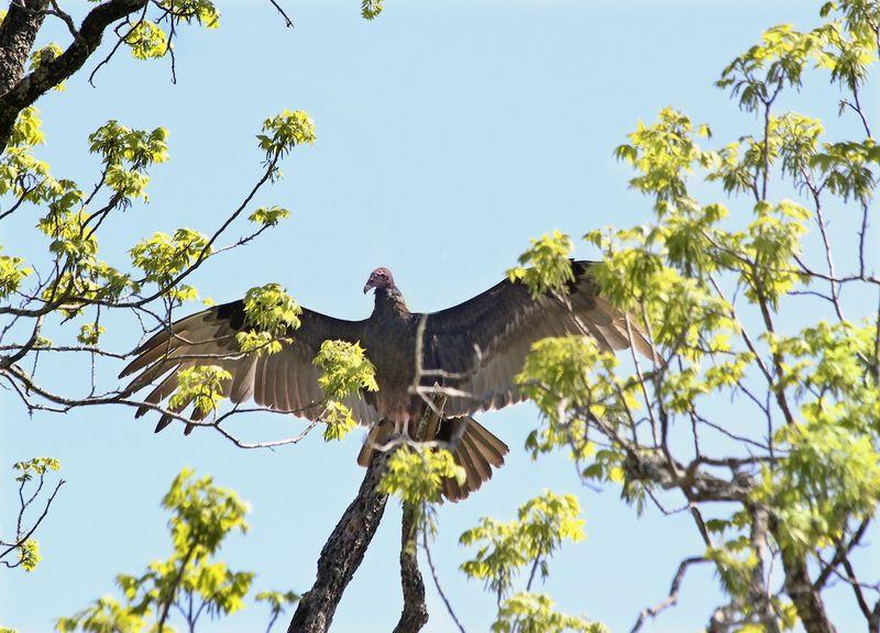 VultureWingsEM5Tree_6472
